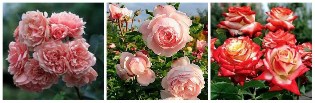 Ароматные сорта роз: Felicia, Madam Figaro,Imperatrice Farah