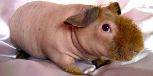 Голые морские свинки фото