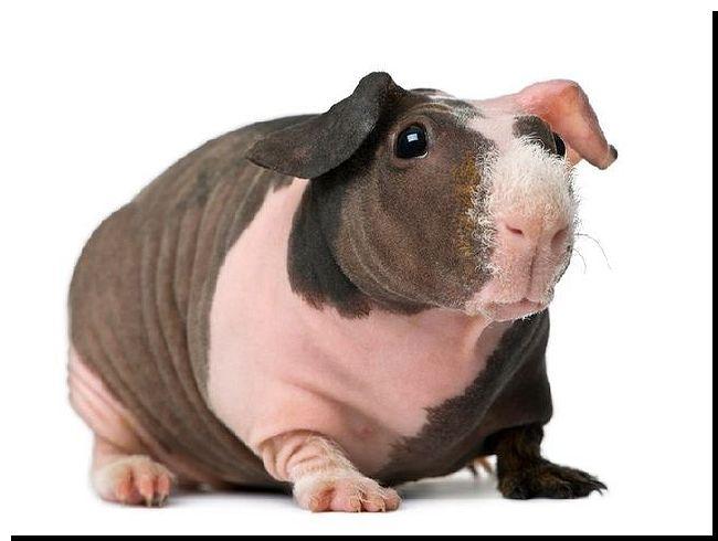 сколько стоят морские свинки: