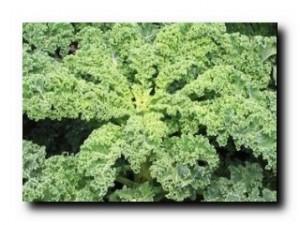 капуста листовая фото