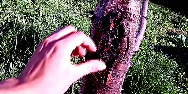 лечение коры дерева