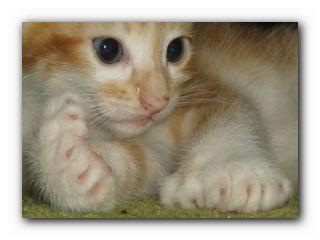 многопалая кошка