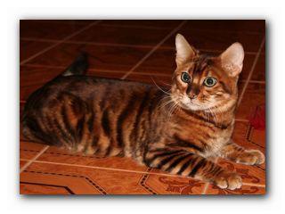 оригинальный кот тойгер