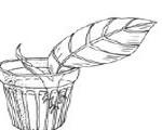 размножение колеуса