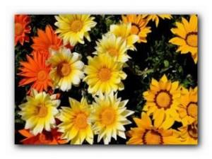 газания балконный цветок