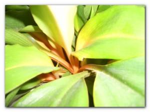 хлорофитум оранжевый выращивание