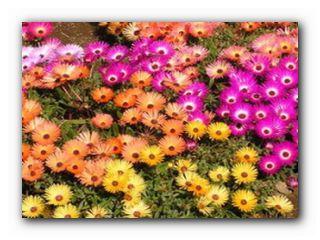 доротеантус цветок для балкона