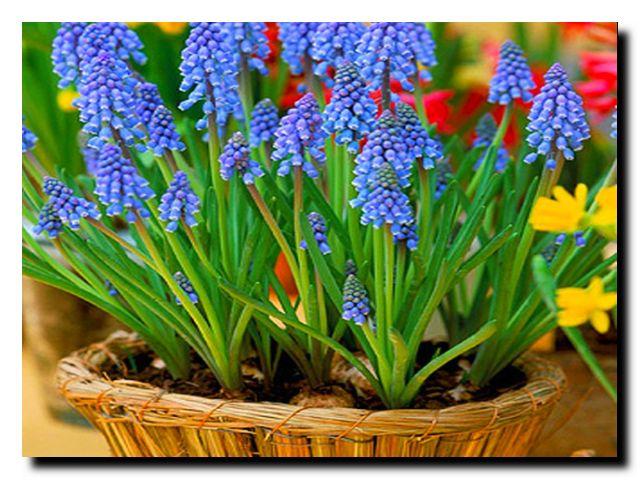 весна мускари