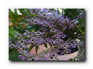 дендробиум нобиле цветение