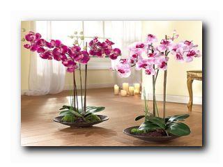 фаленопсис уход цветение