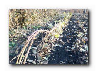 подготовка малины к зиме осенью