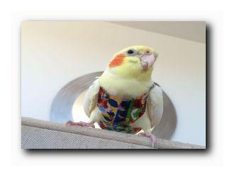 попугай в одежде