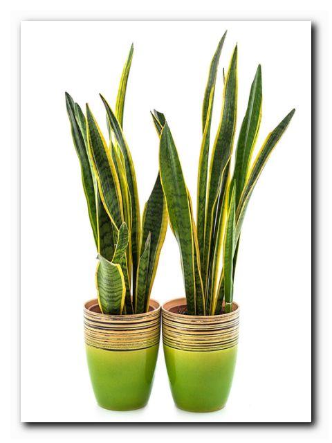 Растение для офиса сансивьера