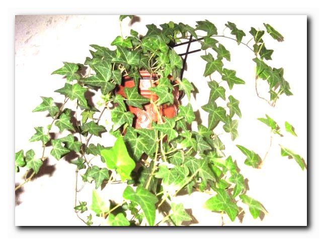 растения для офисов плющ