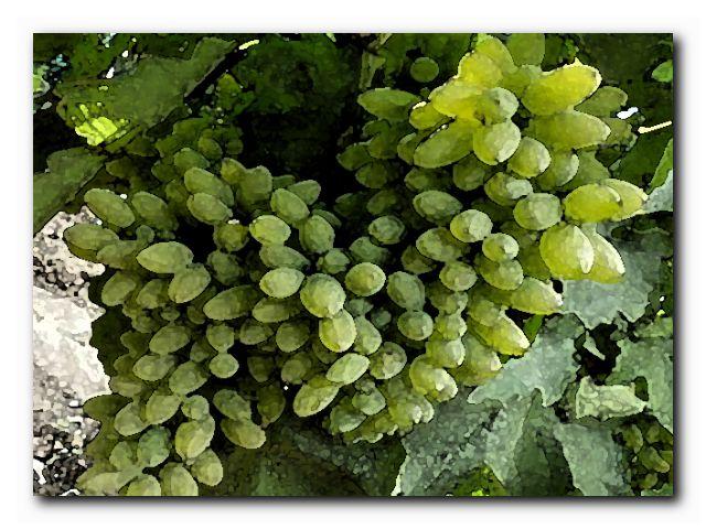 уход за виноградом июле