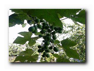 уход за виноградом в июне месяце
