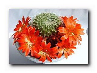 кактусовод