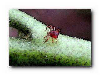 малина в августе клещи