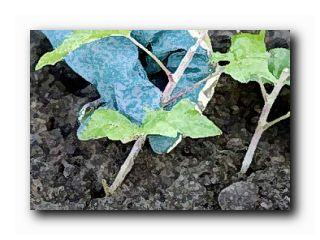 размножение смородины крыжовника осенью