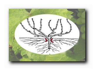 виноград катаровка