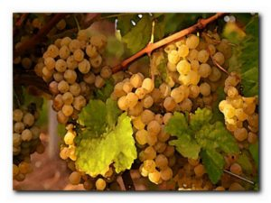 виноград в августе