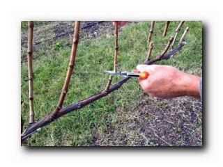 уход за виноградом в октябре
