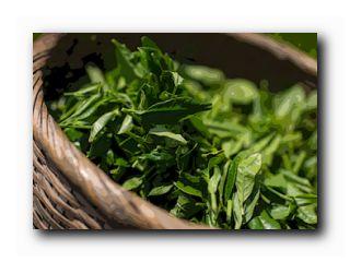 свойства зеленого чая польза