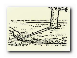 как пересадить взрослое дерево