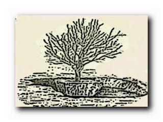 пересадить взрослое дерево