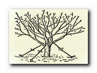правильная пересадка деревьев