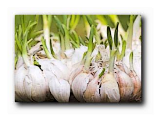 яровой чеснок выращивание