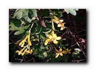 смородина золотая цветет