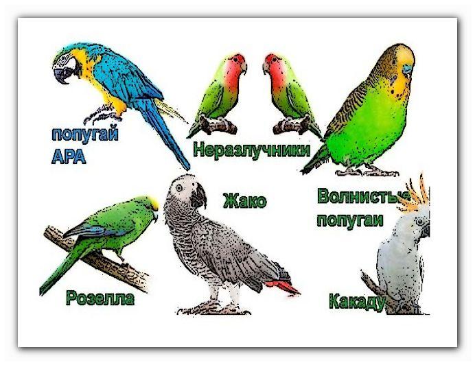 домашние попугаи интересные попугаи