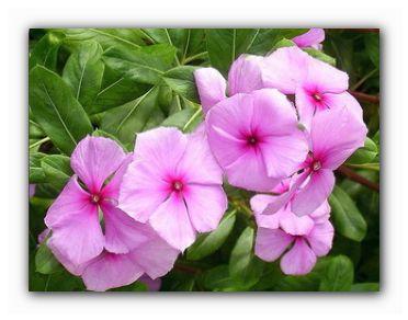 домашний цветок катарантус