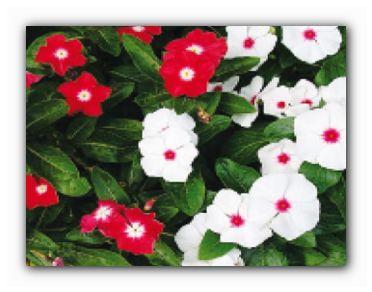 катарантус цветок