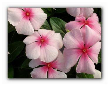 цветок катарантус