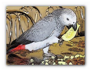 домашний попугай средний