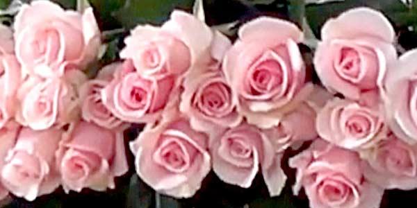 запах розы фото